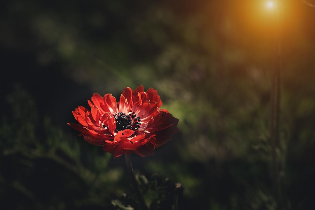 anemone-3455864_1920.jpg