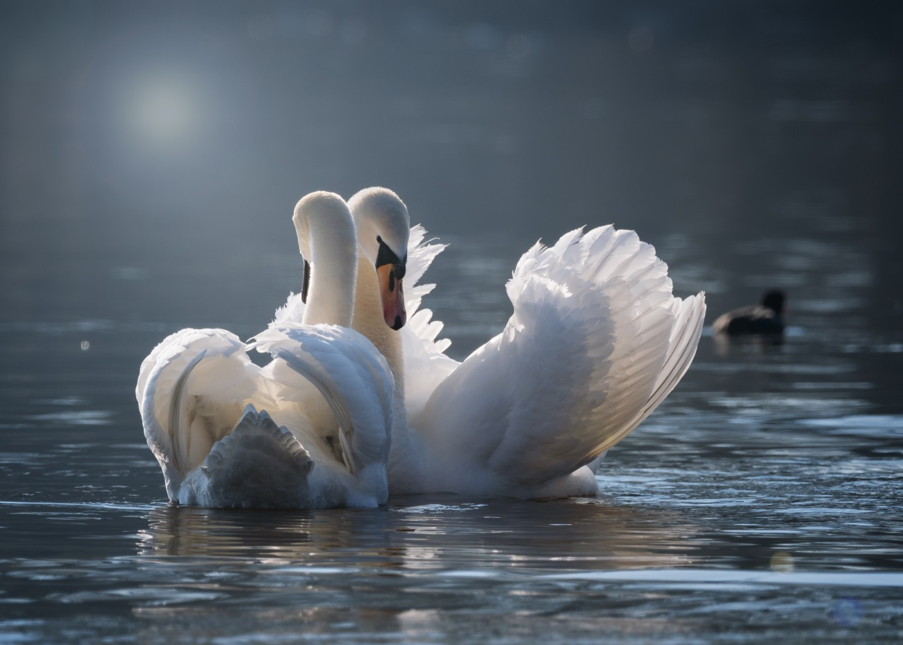 swan-4013225